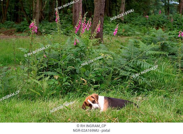 A hound