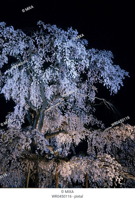 Night View of Cherry Blossoms at Maruyama Park, Kyoto, Kyoto, Japan