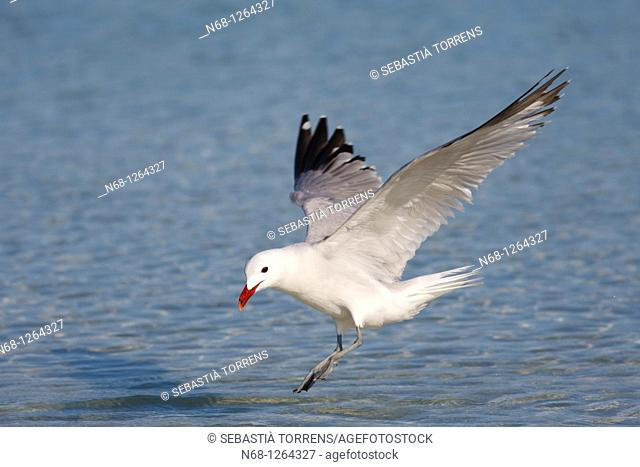 Audouin's Gull Larus audouinii flying on the water, Alcudia, Majorca, Spain
