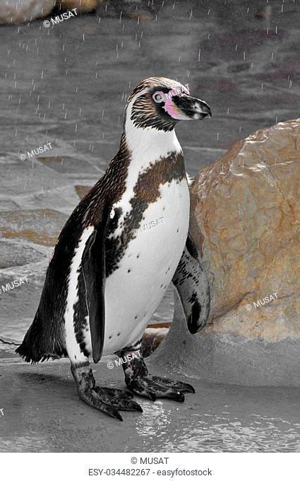 Closeup Humboldt penguin Spheniscus humboldti standing on a rock under the rain