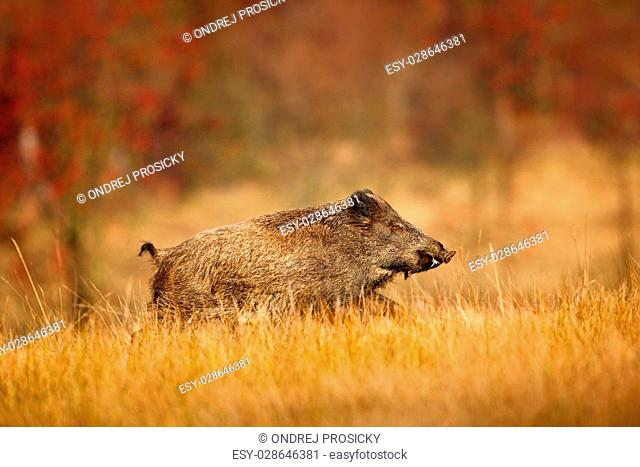 Big Wild boar, Sus scrofa, running in the grass meadow