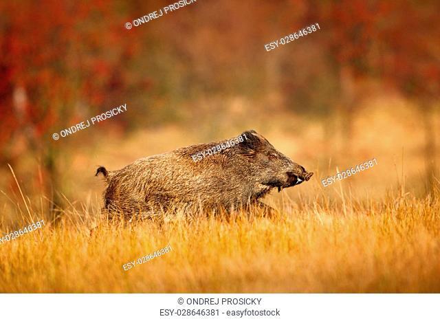 Big Wild boar, Sus scrofa, running in the grass meadow