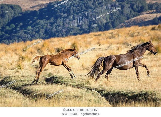 Kaimanawa Horse. Wild mare with foal jumping over a ditch. Kaimanawa Ranges Waiouru. New Zealand