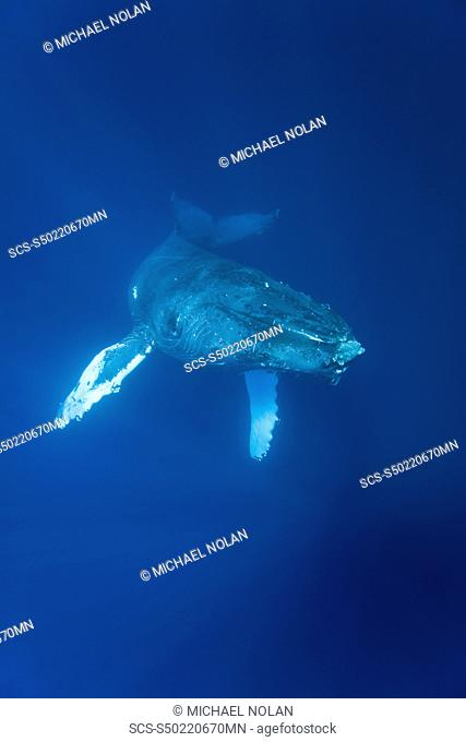 Humpback whale Megaptera novaeangliae underwater in the AuAu Channel between the islands of Maui and Lanai, Hawaii, USA Each year humpback whales return to...