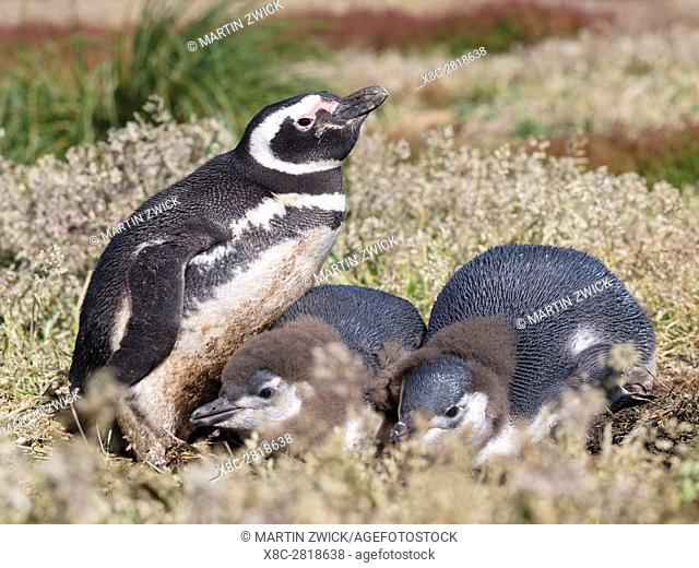 Magellanic Penguin (Spheniscus magellanicus), at burrow with half grown chicks. South America, Falkland Islands, January