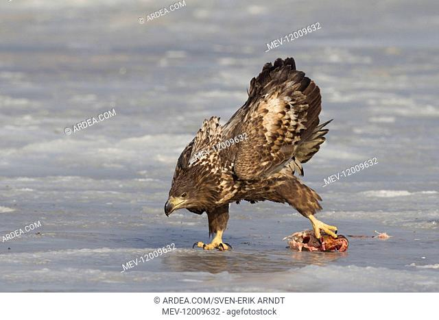 White-Tailed Eagle - juvenile eagle with fish prey - Germany