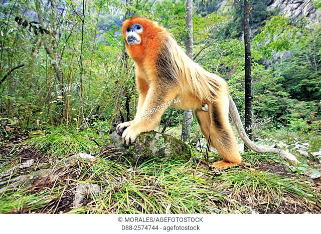 Asia, China, Shaanxi province, Qinling Mountains, Golden Snub-nosed Monkey Rhinopithecus roxellana, adult male