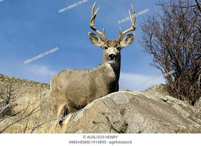 United states, Wyoming and Montana States, Yellowstone National Park, listed as World Heritage by UNESCO, Mule Deer (Odocoileus hemionus), Male