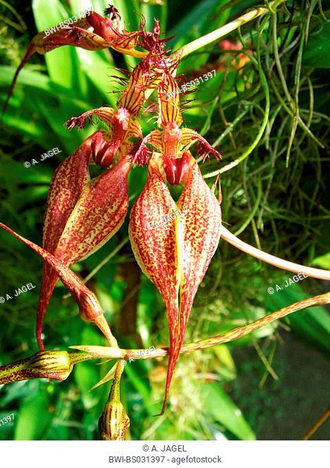 Bulbophyllum (Bulbophyllum rothschildianum (Cirrhopetalum rothschildianum)), flowers