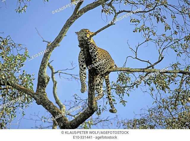 Leopard (Panthera pardus) in a tree. Kenya
