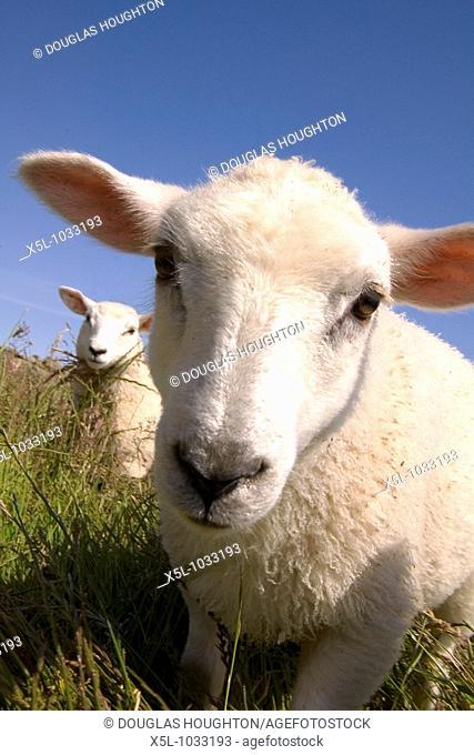 Sheep lamb ANIMALS FARMING Scottish Crossbred spring lambs in grassy field Orkney Scotland