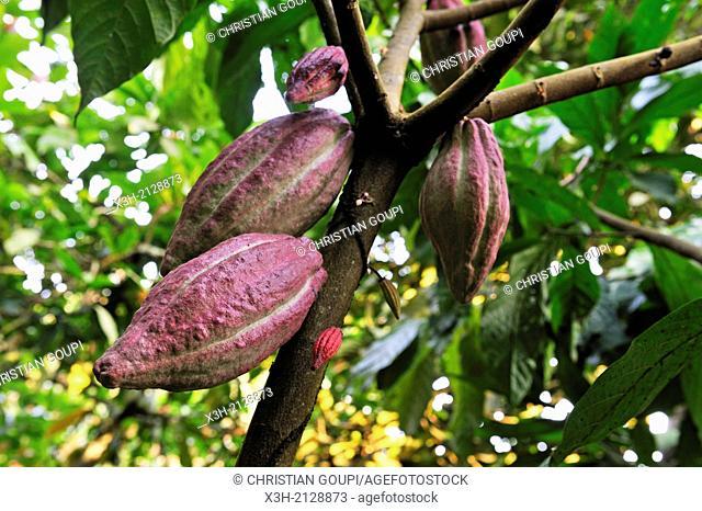 cocoa pods on the tree, Sao Tome Island, Republic of Sao Tome and Principe, Africa