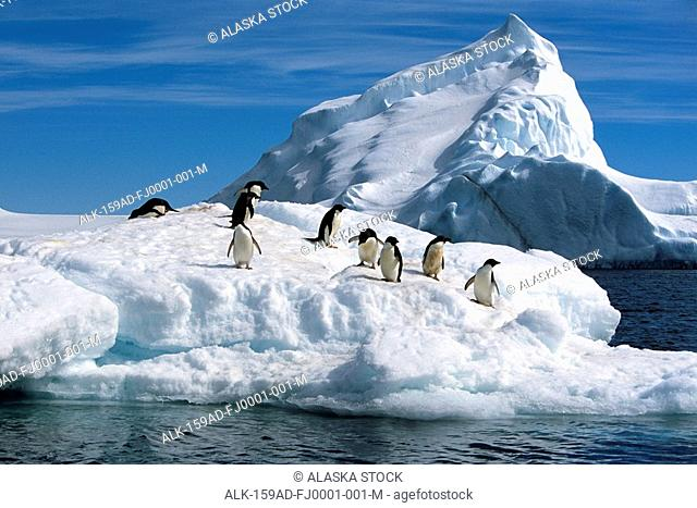 Adelie Penguins Jump From Iceberg Paulet Is Antarctic Summer