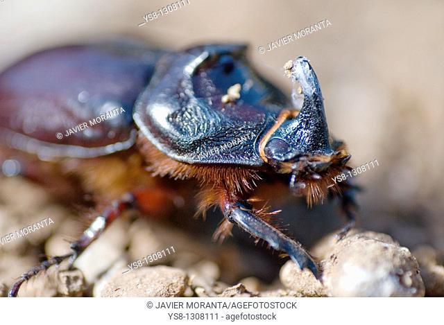 Spain, Mallorca, rhinoceros beetle, Oryctes nasicornis