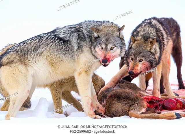 Gray wolves (Canis lupus). Colorado, Usa