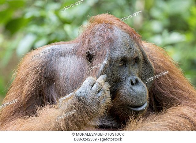 Asia, Indonesia, Borneo, Tanjung Puting National Park, Bornean orangutan (Pongo pygmaeus pygmaeus), adult male in a tree
