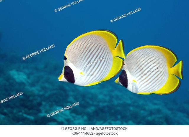 Panda butterflyfish Chaetodon adiergastos  Bali, Indonesia