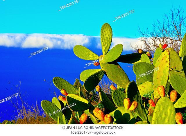 spain,canary islands, la palma : prickly pear