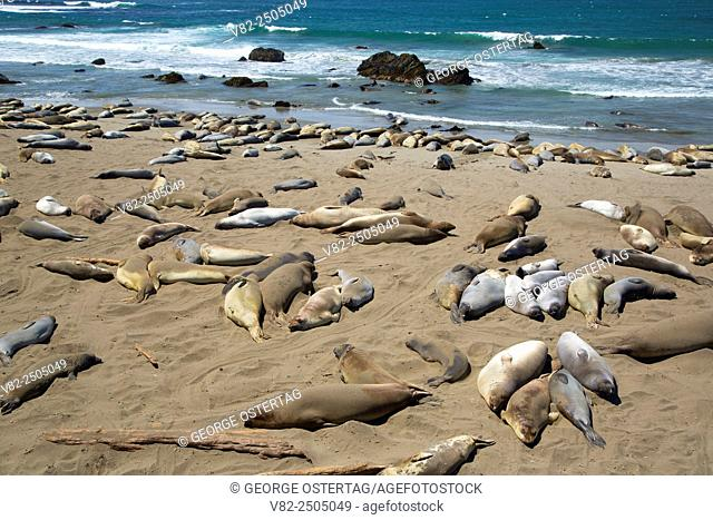 Elephant seals at Elephant Seal Boardwalk, Hearst San Simeon State Park, California