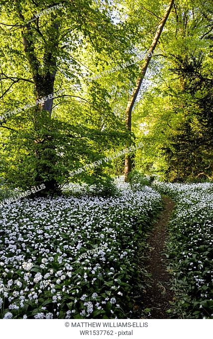 Flowers in a woods near Badbury Hill, Oxford, Oxfordshire, England, United Kingdom, Europe