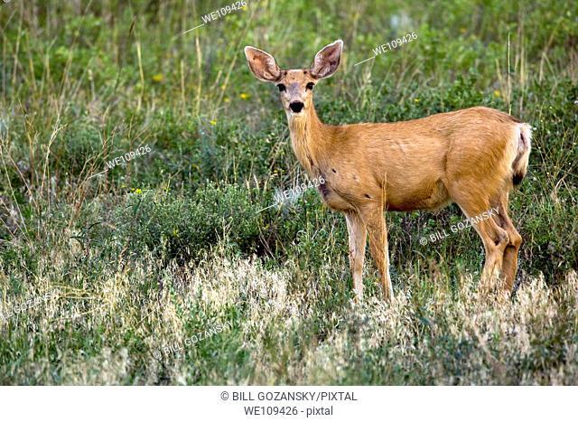 Mule Deer - Cheyenne Mountain State Park - Colorado Springs, Colorado USA
