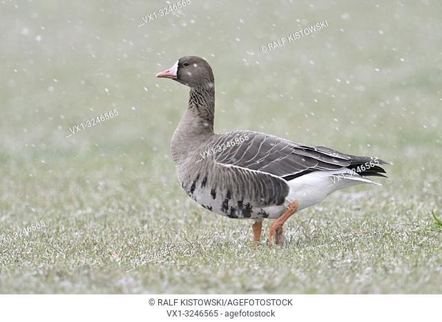 White-fronted Goose / Blaessgans ( Anser albifrons ) in winter, snowfall, walking over grassland, single bird, wildlife, Europe