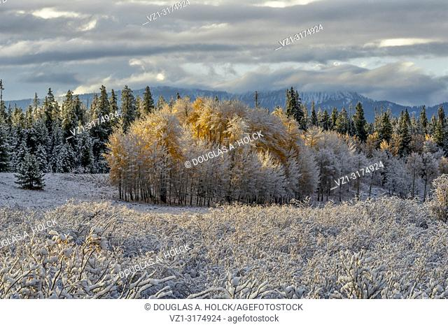Aspen Glow . . An overnight snow covers an aspen grove near Oxbow Bend (Moran) and the first rays of sunlight bring it to life in Grand Teton National Park, USA