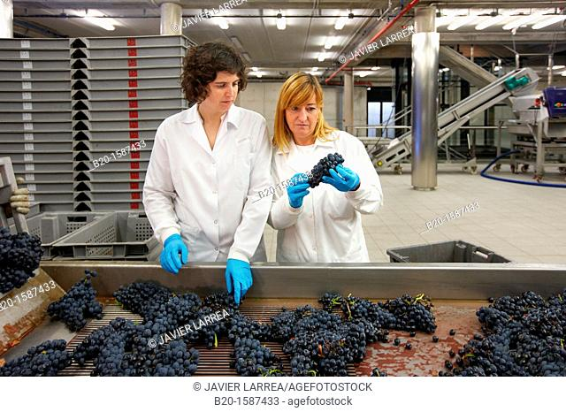 TECNALIA Researchers performing quality control in table grape selection Bodegas Baigorri, Vintage, Tempranillo grape, Samaniego, Araba, Rioja Alavesa
