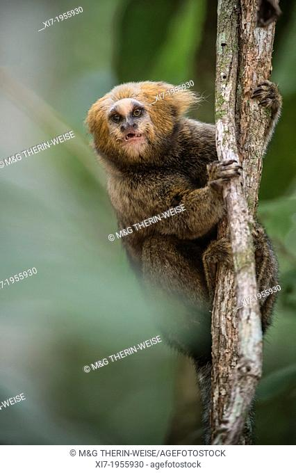 Buffy-headed Marmoset (Callithrix flaviceps), Endemic, Endangered, Caratinga, Minas Gerais, Brazil