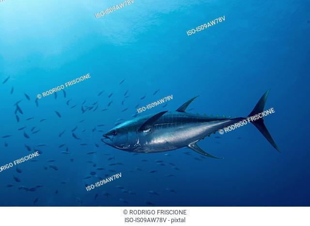 Large Yellowfin Tuna (Thunnus Albacares) launches at amazing speed towards school of mackerel