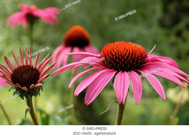 Echinacea blossoms on a meadow