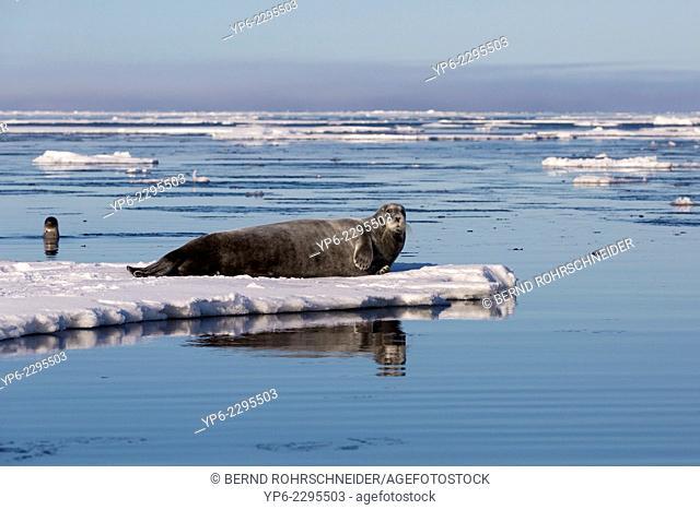 Bearded Seal (Erignathus barbatus) lying on ice floe and swimming Harp Seal (Pagophilus groenlandicus), Hinlopenstretet, Spitsbergen, Svalbard