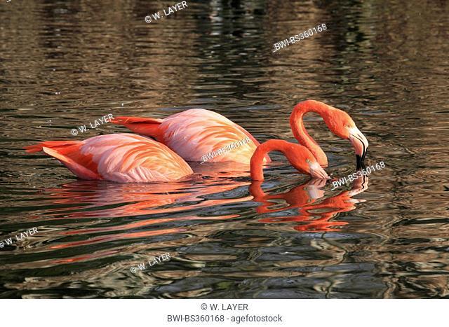 Greater flamingo, American flamingo, Caribbean Flamingo (Phoenicopterus ruber ruber), two American flamingos in the water, Ecuador, Galapagos Islands