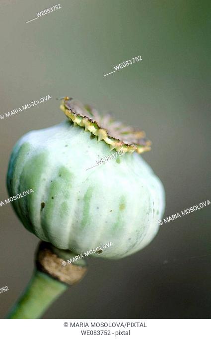 Poppy Seed Head. Papaver somniferum var paeoniflorum
