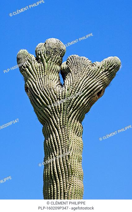 Crested Saguaro cactus (Carnegiea gigantea / Cereus giganteus / Pilocereus giganteus) deformation due to fasciation, Sonoran desert, Arizona, USA