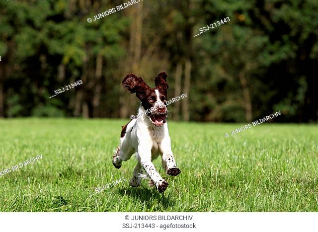 English Springer Spaniel. Adult bitch running on a meadow. Germany