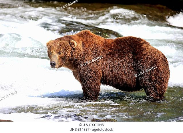 Grizzly Bear, (Ursus arctos horribilis), adult in water hunting, Brookes River, Katmai Nationalpark, Alaska, USA, North America