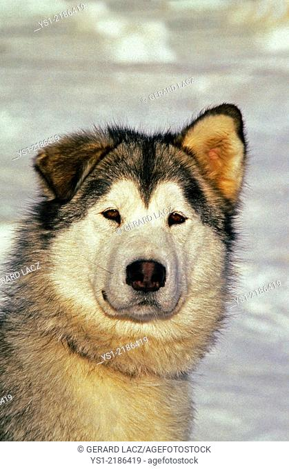 Alaskan Malamute Dog, Portrait with Funny Face
