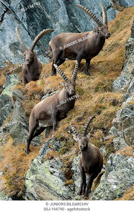 Alpine Ibex (Capra ibex). Four males standing on rocks. Austria