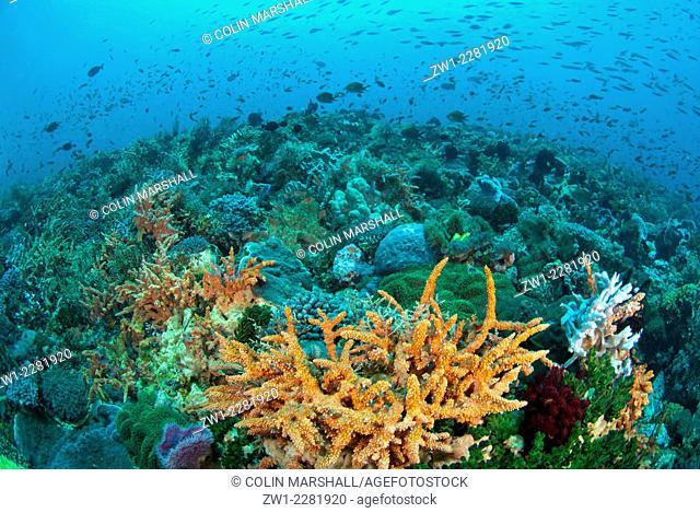 Reef scene, Boardroom dive site, Pura Island, near Alor Island, Indonesia