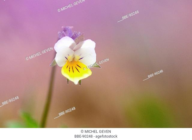 Detailed view of the flower of Field Pansy with pink background