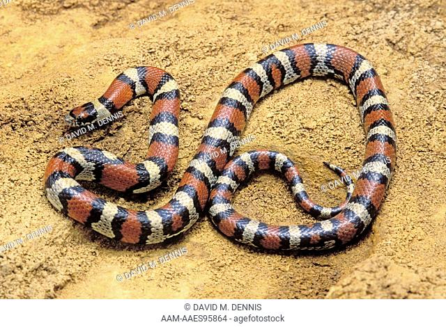 Red Milk Snake (Lampropeltis triangulum syspila), Greenwood Co., KS