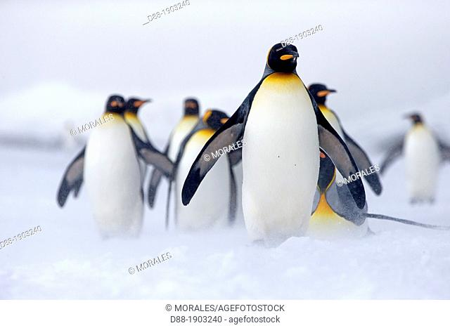 South Georgia Islands, Salysbury Plains, King Penguin (Aptenodytes patagonicus) adults in snow and mist