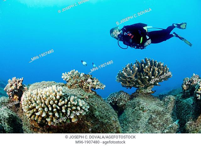 Diver swimming over antler coral, Kauai, Hawaii, USA