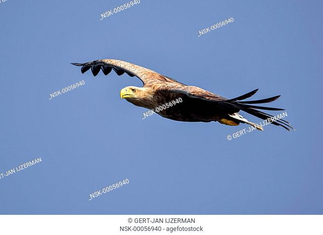 White-tailed Eagle (Haliaeetus albicilla) in flight against a blue sky, Poland, Oderdelta