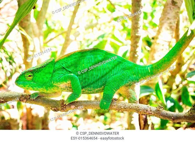 Big Parsons chameleon