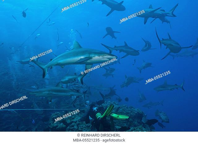 Grey Reef Shark during feeding frenzy, Carcharhinus amblyrhynchos, Osprey Reef, Coral Sea, Australia