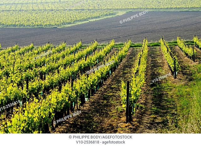 France, Indre et Loire, Chinon, vineyard at spring