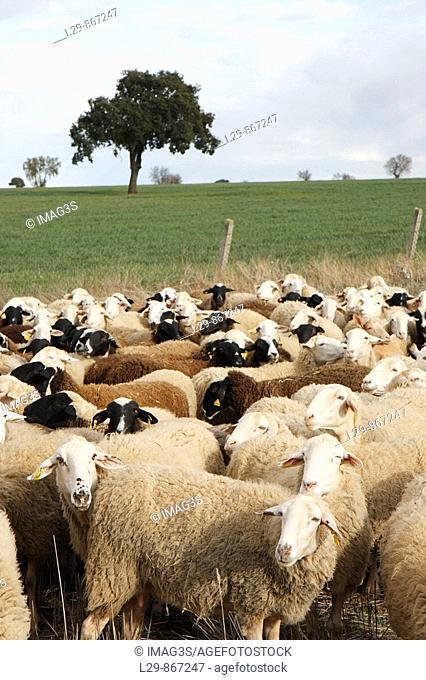Flock of 'assaf' breed in Almendra. Zamora province, Castilla-León, Spain