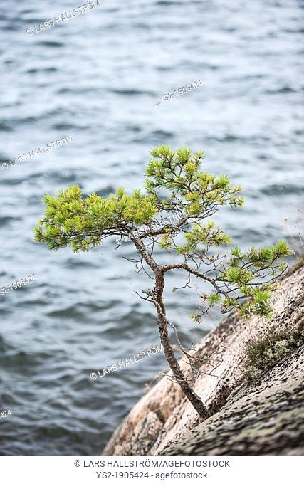 Small pine tree growing on rocks by the sea in the Stockholm archipelago, Sweden